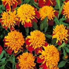 Marigold Tiger Eyes  -  French type Appx 200 seeds